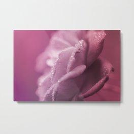 Noisette Heirloom Rose pink  enchanting floral macro photography Metal Print