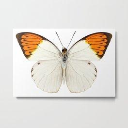 "Butterfly species Hebomoia glaucippe ""Great Orange Tip"" Metal Print"