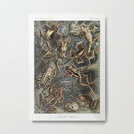 Batrachia–Frösche from Kunstformen der Natur (1904) by Ernst Haeckel. Metal Print