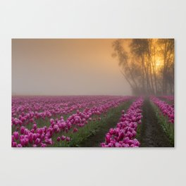 Pink Tulips Field at Skagit Valley In A Misty Morning Canvas Print