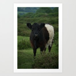 Belted Galloway Cow Art Print