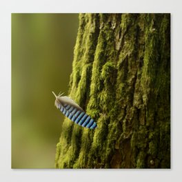 Blue jay feather falling Canvas Print