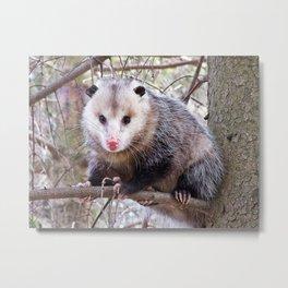 Possum Staredown Metal Print