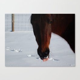 Paso Fino Horse In Snow Sticking Her Tongue Out Canvas Print