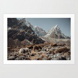 Himalayan yaks Art Print