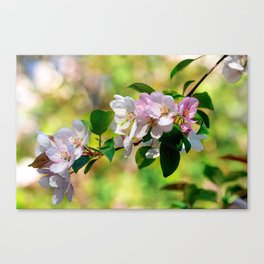 Cluster of pink crabapple flowers. Blooming beauty Canvas Print