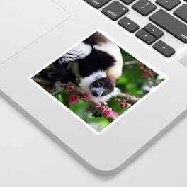 Black and White Ruffed Lemur, Madagascar Sticker