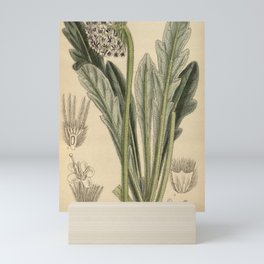 Flower 8774 scabiosa hookeri Mini Art Print