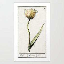Tulip Tulipa (1596-1610) by Anselmus Botius de Boodt Art Print