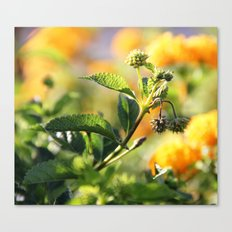 Crown of Splendor Canvas Print