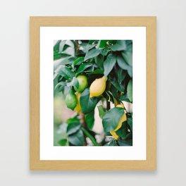 Lemons on A Lemon Tree Framed Art Print