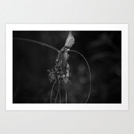 Batwing Plant (Tacca chantrieri) Art Print