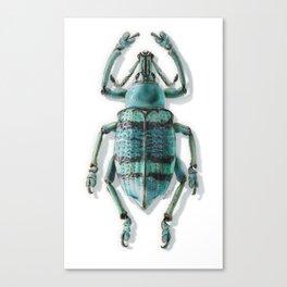 Beetle Indonesian Weevil Canvas Print