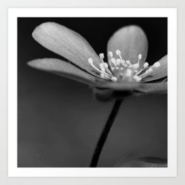 Blue spring flower Hepatica in bw III Art Print