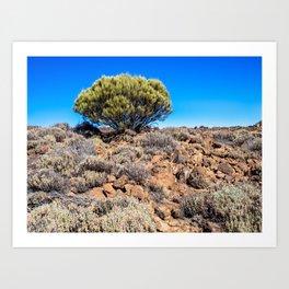 Retama Plant in the Teide National Park, Tenerife Art Print
