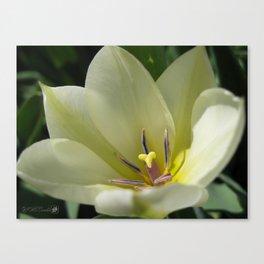 Tulip named Perles de Printemp Canvas Print