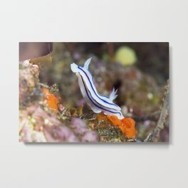 Loch's Chromodoris in Bunny Pose Metal Print