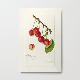 Cherries (Prunus Avium) (1910) byAmanda Almira Newton Metal Print
