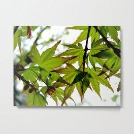 Summer Green Japanese Maple Leaves Metal Print
