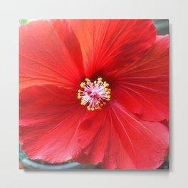 Fruit Punch Hibiscus, red flower close up, in my hipster garden Metal Print