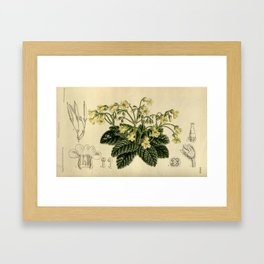 Oreocharis forrestii, Gesneriaceae Framed Art Print