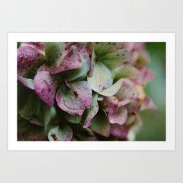 Hydrangea.  Art Print