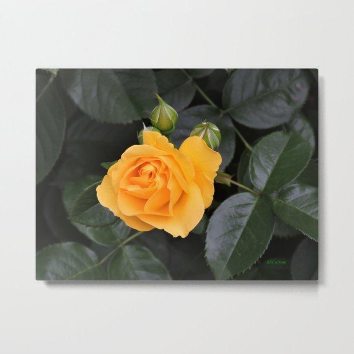 "A Rose Named ""Julia Child"" Metal Print"