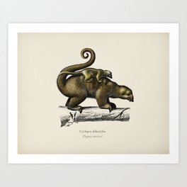 Pygmy anteater (Cyclopes didactylus) illustrated by Charles Dessalines D' Orbigny (1806-1876). Art Print