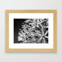 Allium in Bloom 2 Framed Art Print