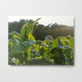NC Tobacco Metal Print