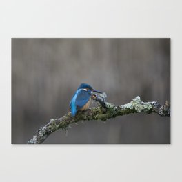 Kingfisher on a Branch Canvas Print