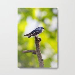 Little Blue Tree Swallow Metal Print