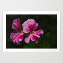 A Vibrant Pink Geranium Flower Art Print