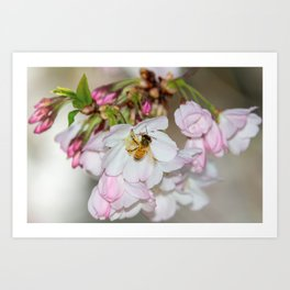 Cherry Blossoms & Bee Art Print