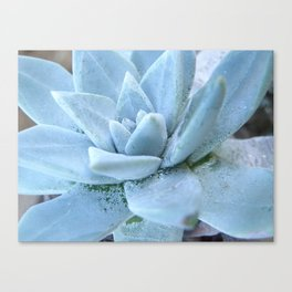 Succulents of the Channel Islands // Scorpion Canvas Print