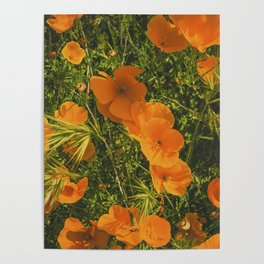 California Poppies 005 Poster