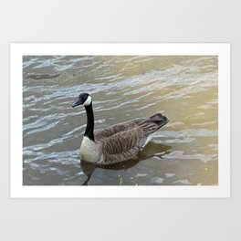 Canadian Goose Swimming in the River Art Print