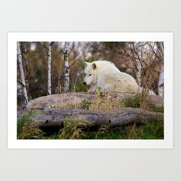 Arctic Wolf Caught Napping Art Print
