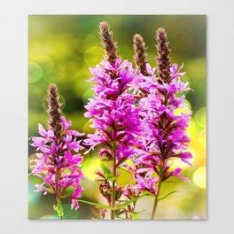 Purple Loosestrife Canvas Print
