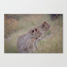 Four Lions in a row Canvas Print