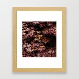 Japanese Maple, Acer Palmatum Seigen Framed Art Print