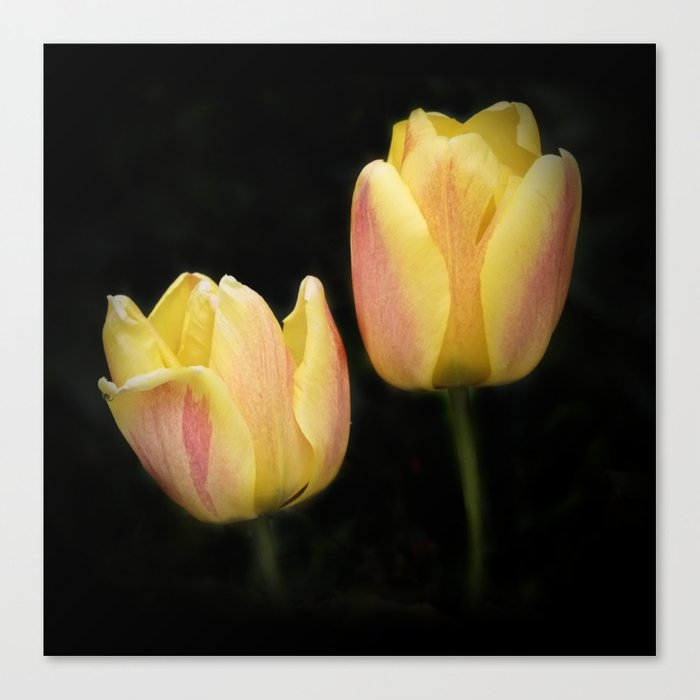 yellow-red tulips on black Canvas Print