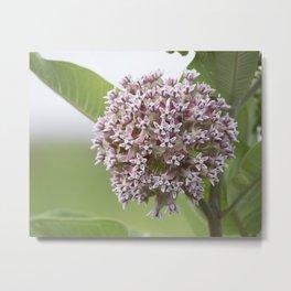 Milkweed Flowers Metal Print