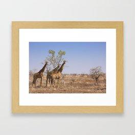 Giraffes in Kruger National Park, South Africa Framed Art Print