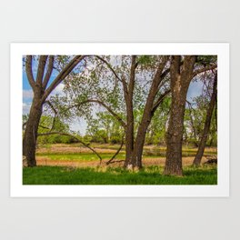 Cottonwoods at Lee's Farm 3 Art Print
