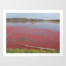 Cranberries Waiting To Be Rounded Up Art Print