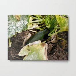 Zucchini in garden Metal Print