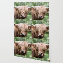 Portrait of a cute Scottish Highland Cattle Wallpaper