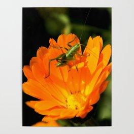 little grasshopper Poster