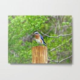 Bluebird on a Fence Post Metal Print